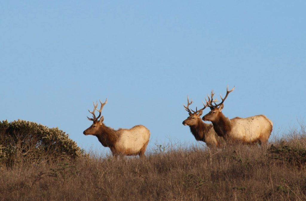 Tule elk were reintroduced into Point Reyes National Seashore in 1978, and now exist in three distinct herds in the park. Credit: Julia Kane/InsideClimate News