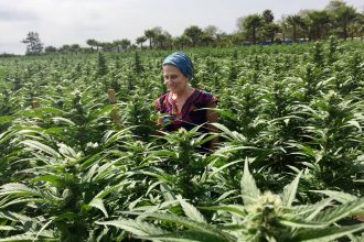 Valerie Leveroni Corral surveys medical cannabis plants from all over the world at one of WAMM Phytotherapies' gardens, cultivated at a former Boy Scout Camp in unincorporated Santa Cruz County. Credit: Evelyn Nieves/InsideClimate News