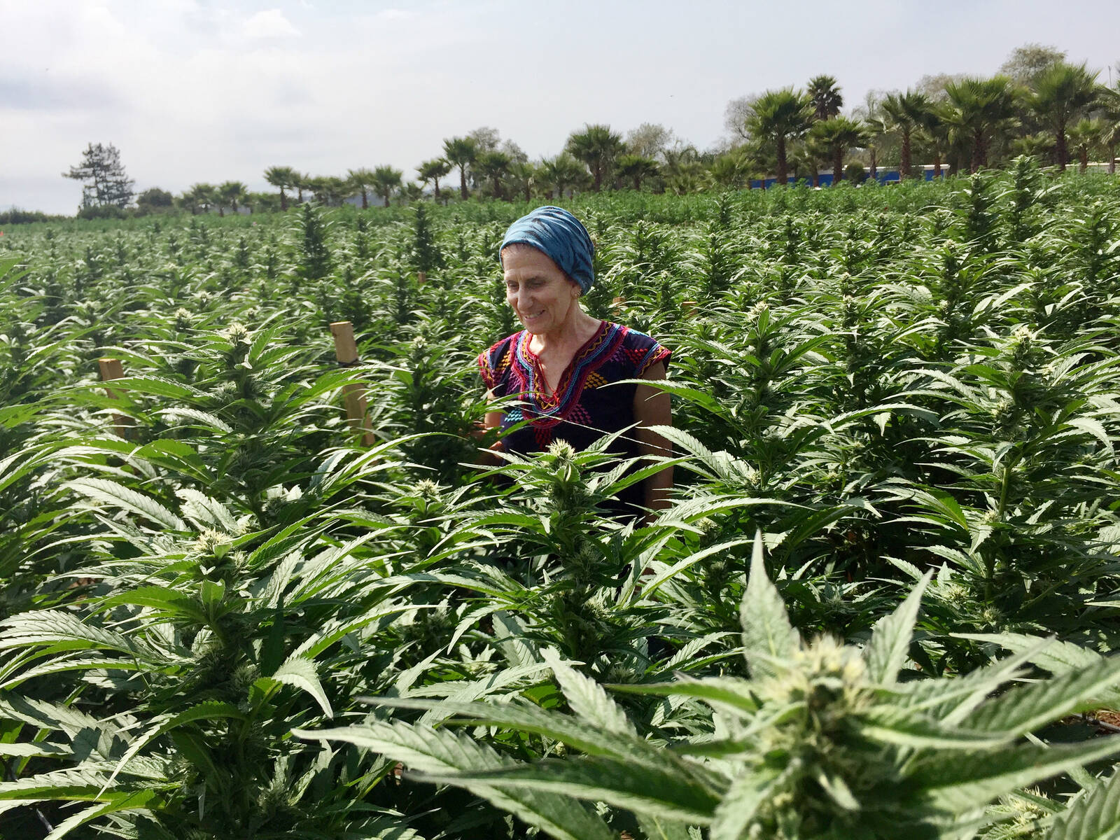 The Biggest Threat To Growing Marijuana In California Used To Be The Law Now It S Climate Change Inside Climate News