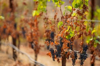 The vineyards at the Somerston Estate Winery & Vineyards are seen amid California wildfires on Sept. 30, 2020 in St. Helena, California. Credit: Kent Nishimura/Los Angeles Times