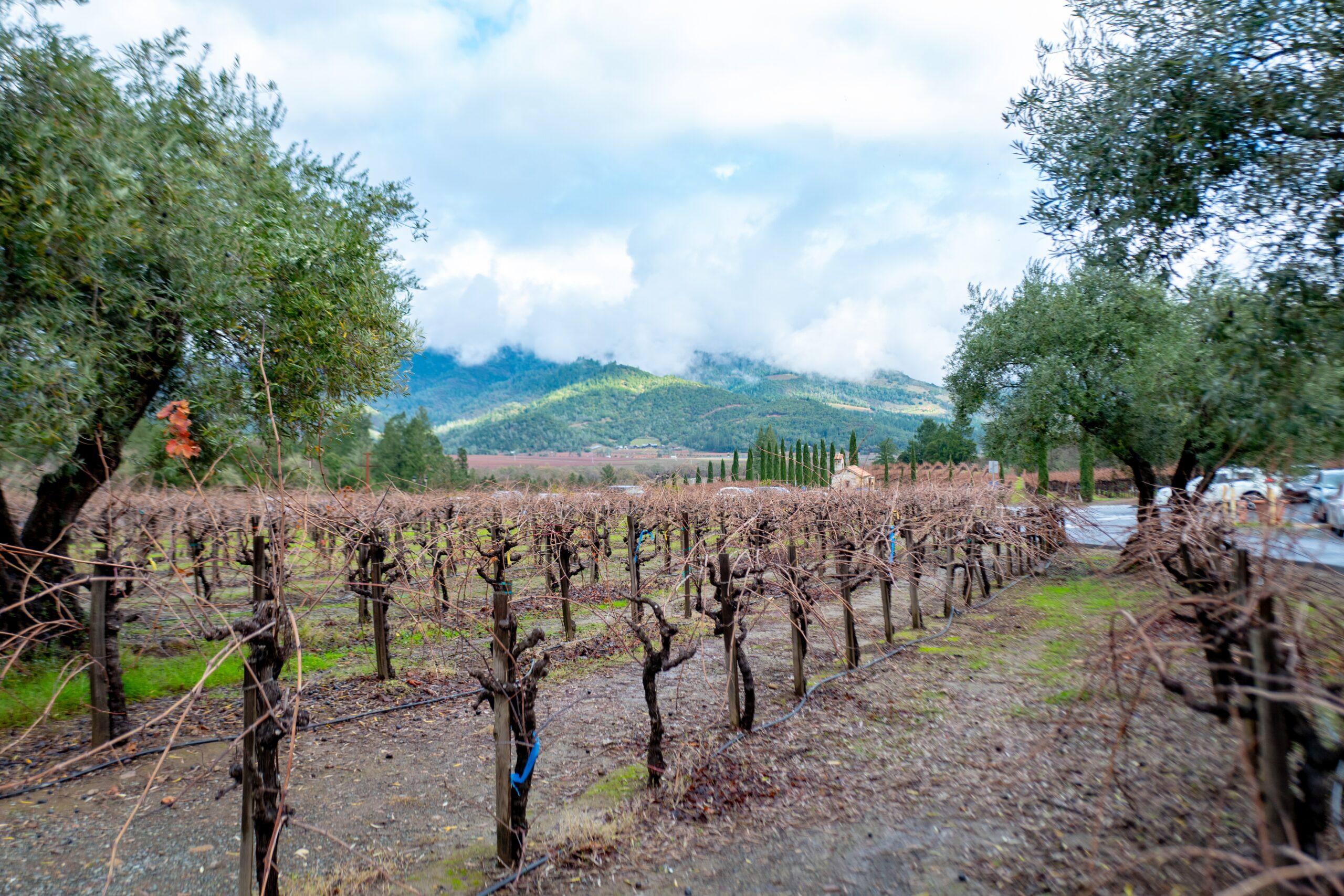 Grapevines at Castello di Amorosa, in the Napa Valley Wine Country, Calistoga, California, December 22, 2019.