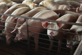 """Hogs are raised on July 25, 2018 near Osage, Iowa. Smithfield Foods and Dominion Energy have set out to capture the methane emitted from giant hog manure """"lagoons,"""" convert it into biogas and inject that biogas into pipelines to heat homes and buildings."""