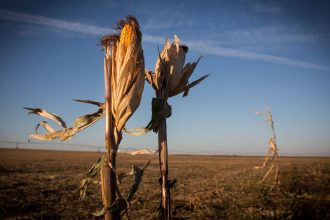 Stalks of corn are seen near York, Nebraska. The state is steadily increasing its use of renewable energy, helped by strong winds. Credit: Andrew Burton/Getty Images