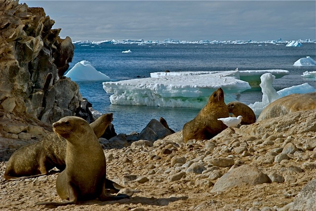 Paulet Island, near the tip of the Antarctic Peninsula, 2009. Melting icebergs can disrupt wildlife and, on a massive scale, the climate.