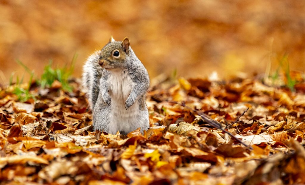 A grey squirrel looks for food amongst the fallen autumn leaves in Sefton Park, Liverpool. Credit: Peter Byrne/PA Images via Getty Images