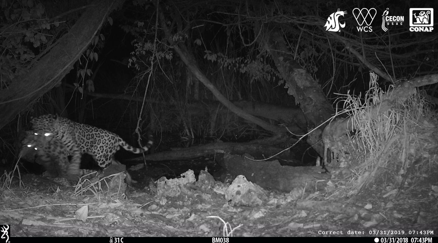 A male jaguar carries off an ocelot at a watering hole in the Maya Biosphere Reserve in Guatemala. Credit: Washington State University