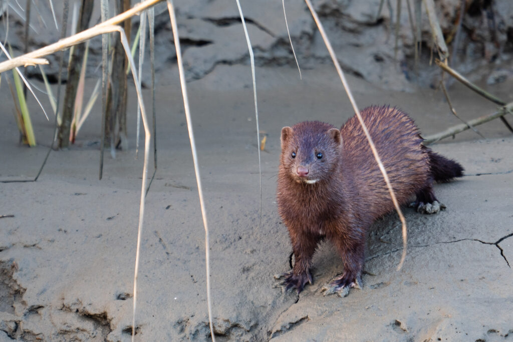 Minks can contract and transmit Covid-19 to and from humans and each other. Credit: Kit MacAvoy/SOPA Images/LightRocket via Getty Images
