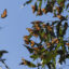 Monarch butterflies cluster on eucalyptus tree limbs at Ardenwood Historic Farm in Fremont, California on January 27 2018. Credit: Yichuan Cao/NurPhoto via Getty Images