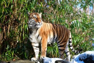 An Amur tiger at the Bronx Zoo on Dec. 14, 2017 in New York City. Credit: James Devaney/Getty Images