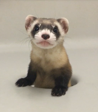 Elizabeth Ann, the first cloned black-footed ferret and first-ever cloned U.S. endangered species, at 68-days old. Credit: USFWS National Black-footed Ferret Conservation Center