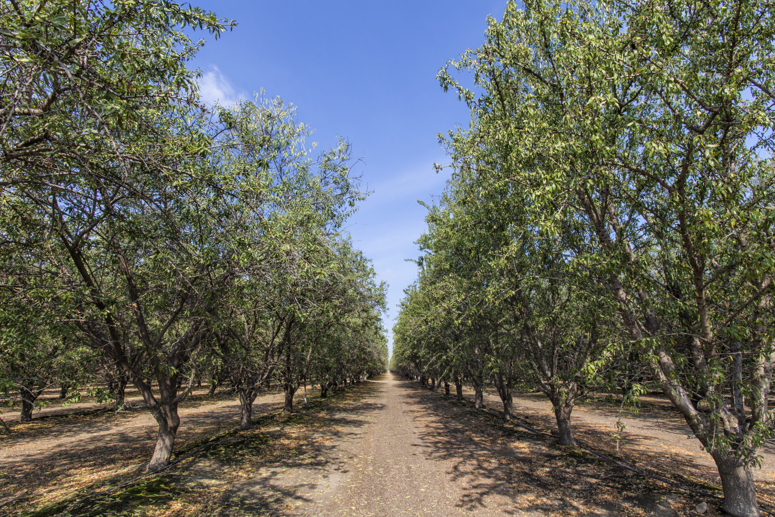 An almond orchard in Tulare County in the San Joaquin Valley, California Almond Orchard, Tulare County, San Joaquin Valley, California. Credit:Citizens of the Planet/Education Images/Universal Images Group via Getty Images