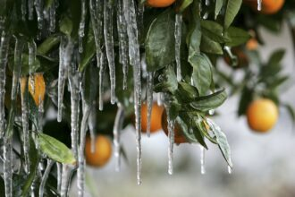 Icicles created by drip irrigation are illuminated by a car's headlights during a cold snap January 17, 2007 in Orange Cove, California. Credit: Justin Sullivan/Getty Images
