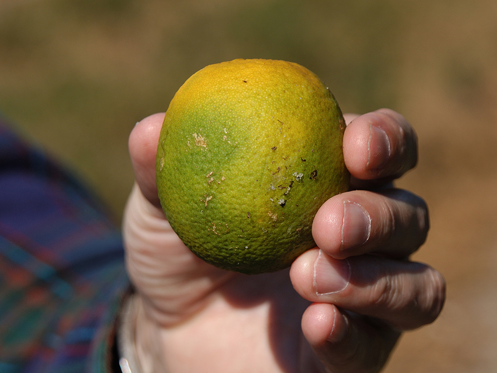 Huanglongbing is also known as citrus greening disease because it causes the fruit to stay green and not ripen. Credit: Citrus Pest and Disease Prevention Program