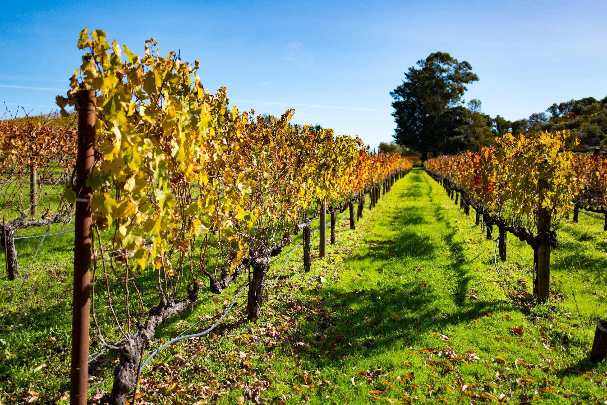 Grapevines at a vineyard in Sonoma County, California, November 27, 2016. Sonoma County experienced an outbreak of Pierce's disease in 2014. Credit: Smith Collection/Gado/Getty Images