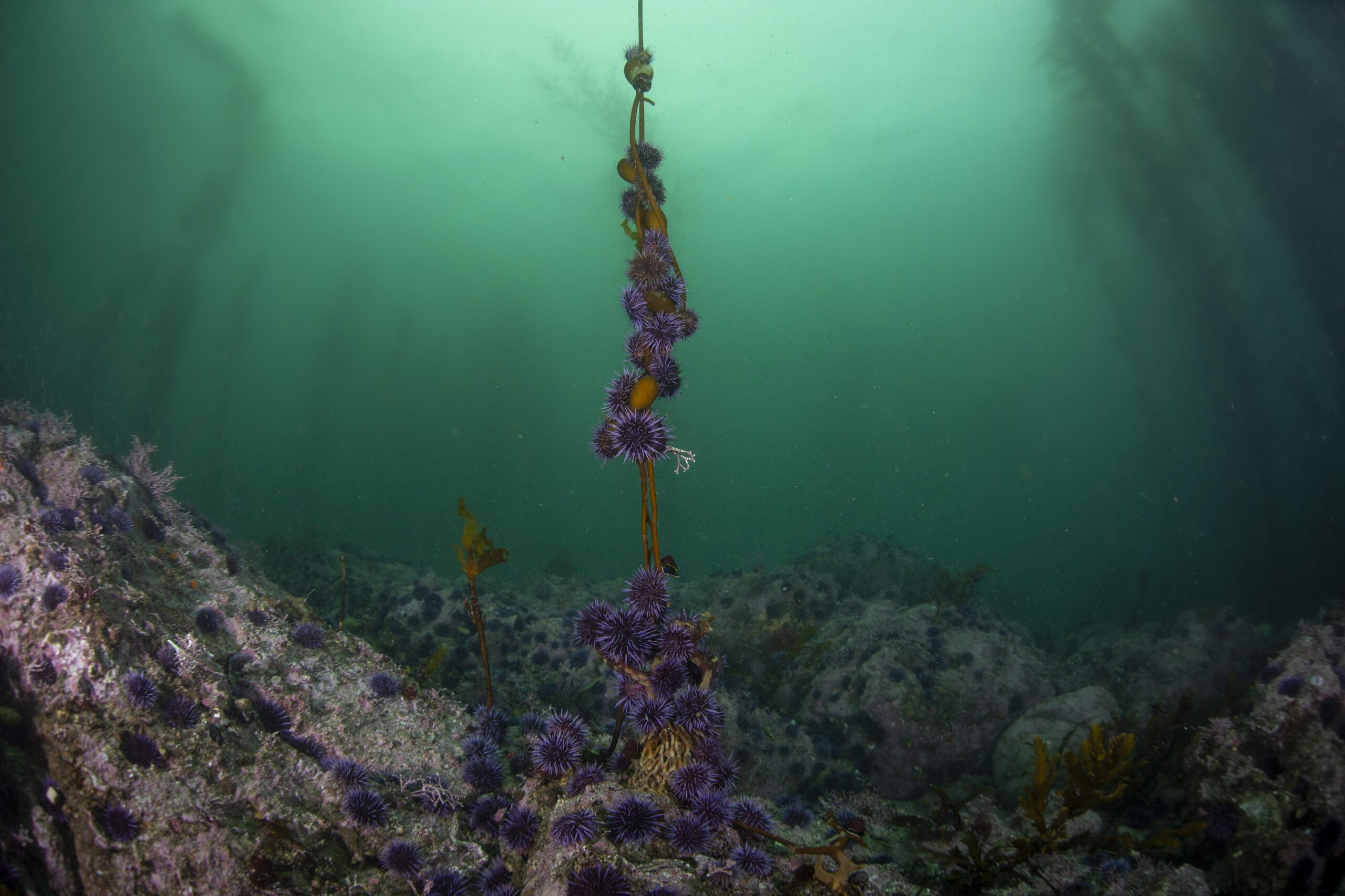 Purple urchins consume the remainder of a small giant kelp. In the background, an urchin barren has cleared the majority of nearby kelp and algae leaving an environment less hospitable for many species. Credit: Michael Langhans