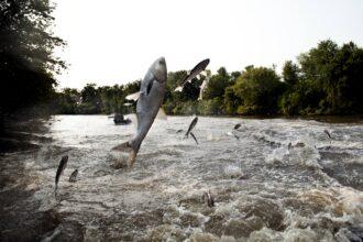 Asian carp are an invasive species wreaking havoc on U.S. waterways. Credit: Benjamin Lowy/Getty Images