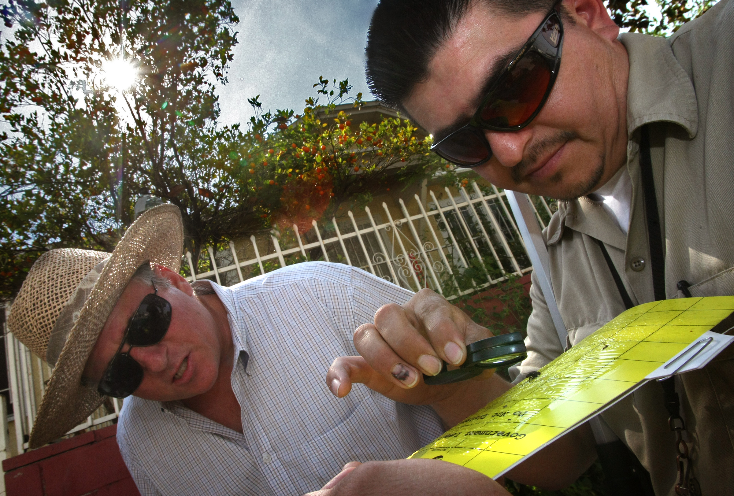 Steve Lyle, left, and Ignacio Valazquez with the California Dept. of Food & Agruculture examine insects stuck to a cardboard trap just removed from a citrus tree in a residential Los Angeles garden. They are most interested in catching 1/8th inch long psyllids to determine if any are infected with citrus greening disease. Credit: Don Bartletti/Los Angeles Times via Getty Images