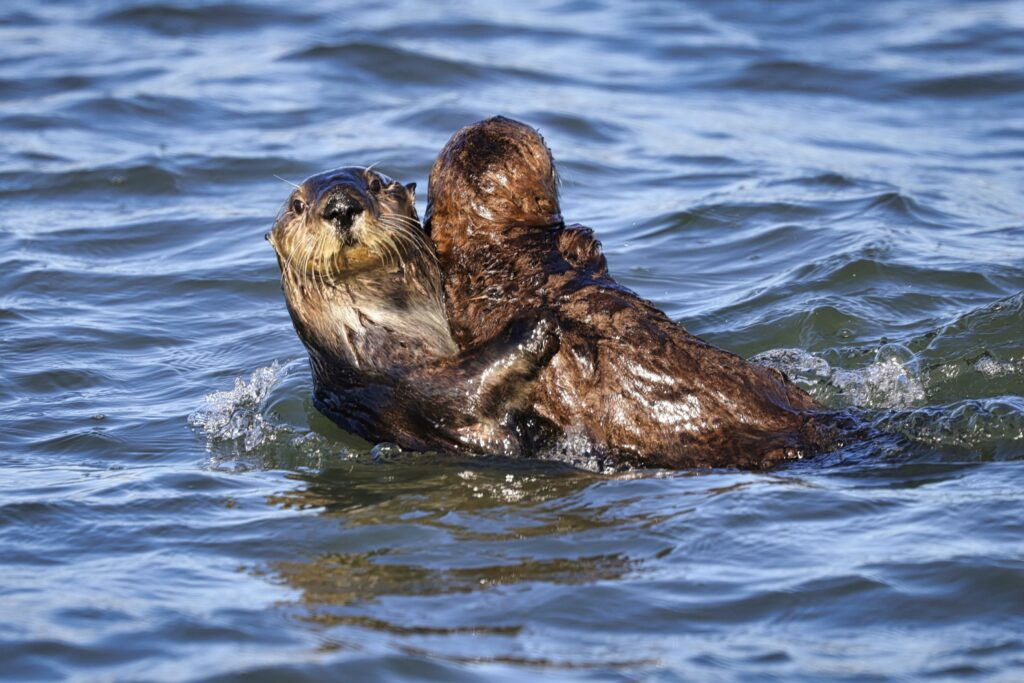 A pair of otters share an embrace off the coast of Moss Landing. Credit: Kevin Painchaud/Lookout Santa Cruz