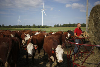 A farmer feeds cows in front of wind turbines that stand at the Amazon Wind Farm Fowler Ridge in Fowler, Indiana on Aug. 3, 2016. Credit: Luke Sharrett/Bloomberg via Getty Images