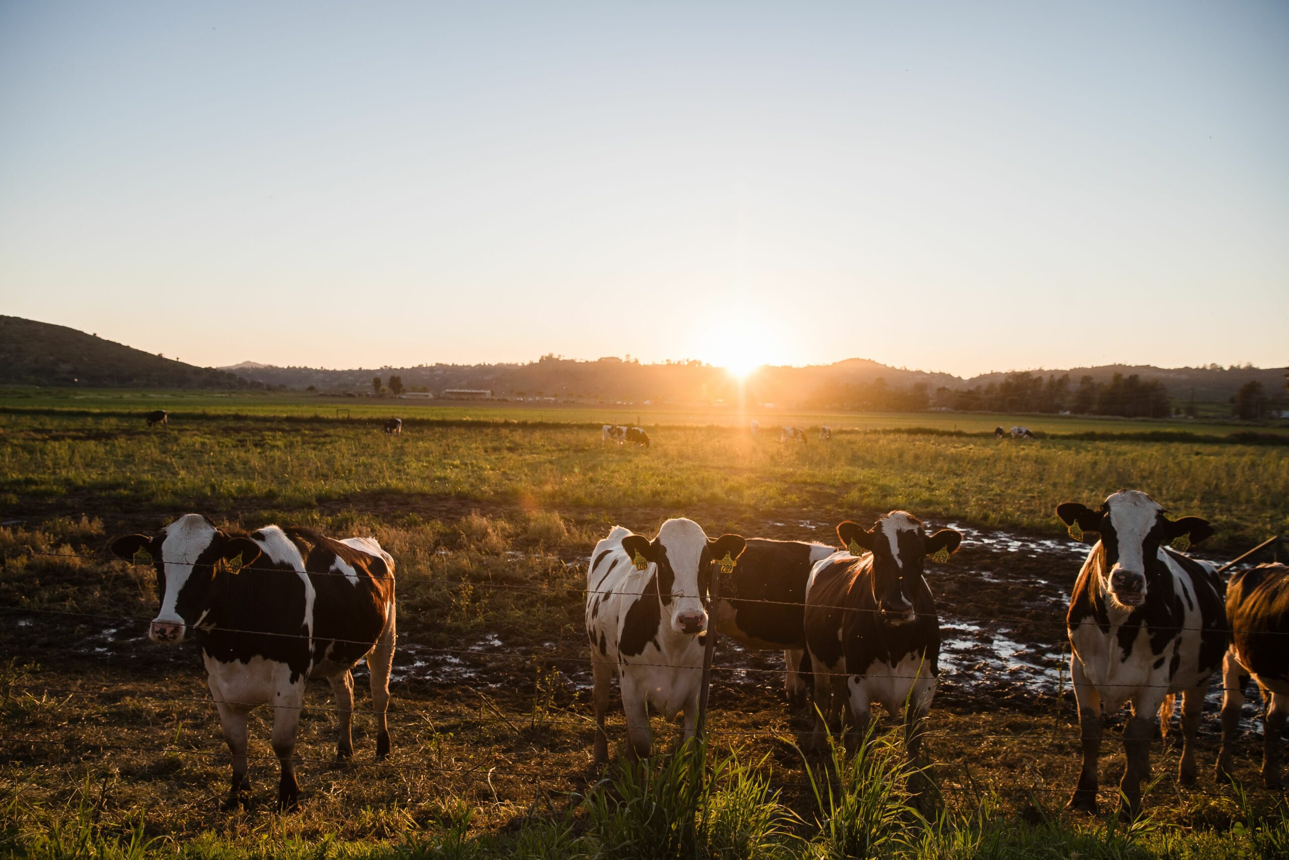 A view of cattle ruminating around Frank Konyn Dairy Inc., on April 16, 2020, in Escondido, California. Credit: Ariana Drehsler /AFP via Getty Images