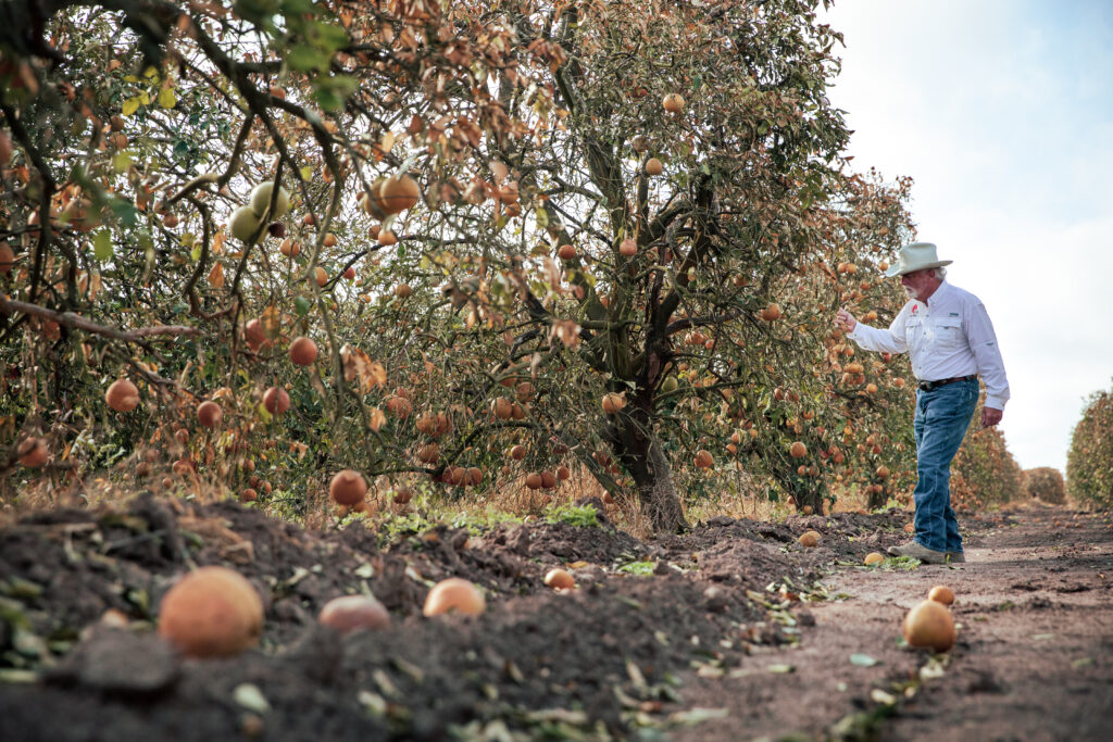 President of Texas Citrus Mutual Dale Murden inspects the damaged fruit effected by the February freeze on his orchard between Santa Rose and Combes, Texas. Credit: Jason Garza