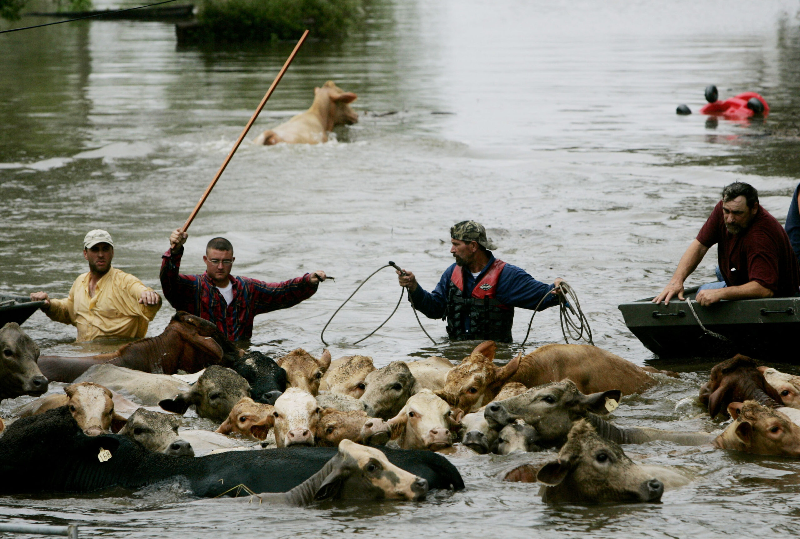 Wranglers guide a herd of stranded cows to higher ground as flood waters rise, due to a levy break Sept. 24, 2005 in Chauvin, Louisiana. Hurricane Rita caused massive damage as it moved across western Louisiana. Credit: Sandy Huffaker/Getty Images