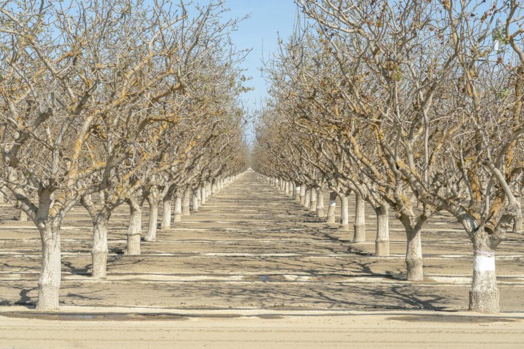 Une récolte d'arbres en début de bourgeonnement est arrosée à Bakersfield, en Californie, le mardi 6 avril 2021. La Californie, connue pour sa production d'amandes à forte intensité en eau, fait face à sa troisième année la plus sèche jamais enregistrée. Crédit: Kyle Grillot / Bloomberg via Getty Images