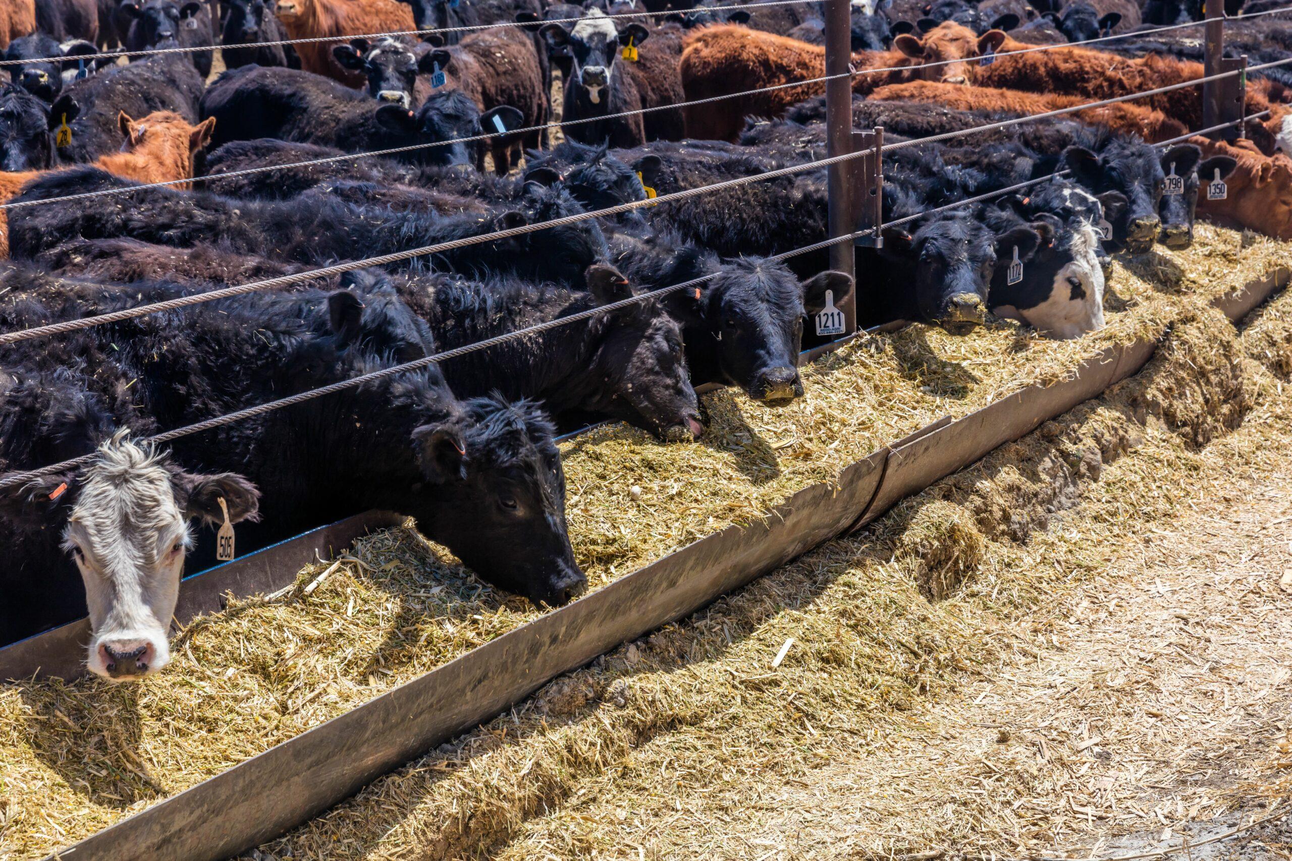 Cattle eating hay in cattle feedlot in Utah. Credit:Joe Sohm/Visions of America/Universal Images Group via Getty Images