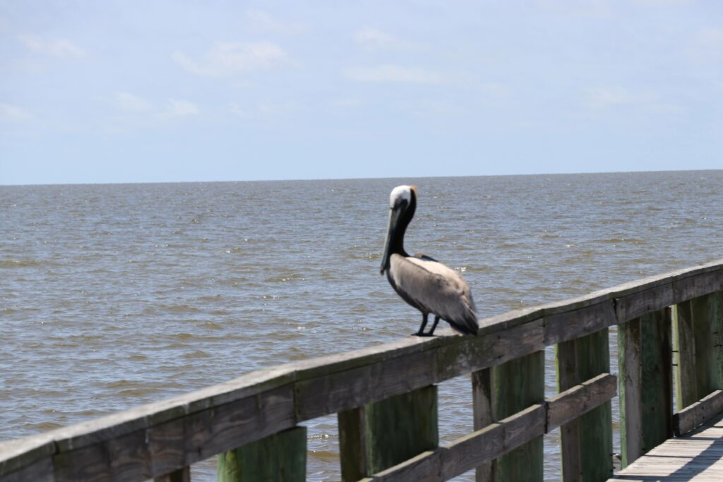 Pelicans are now easy to spot in Biloxi, but populations were devastated in 2010 by the Deepwater Horizon spill. Credit: Nicholas Portuondo