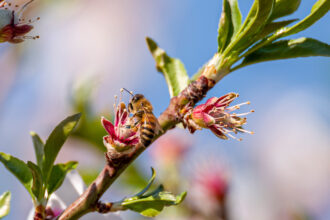 A bee pollinates a flower on an almond tree in Dixon, California, on Thursday, March 4, 2021. Credit: David Paul Morris/Bloomberg via Getty Images