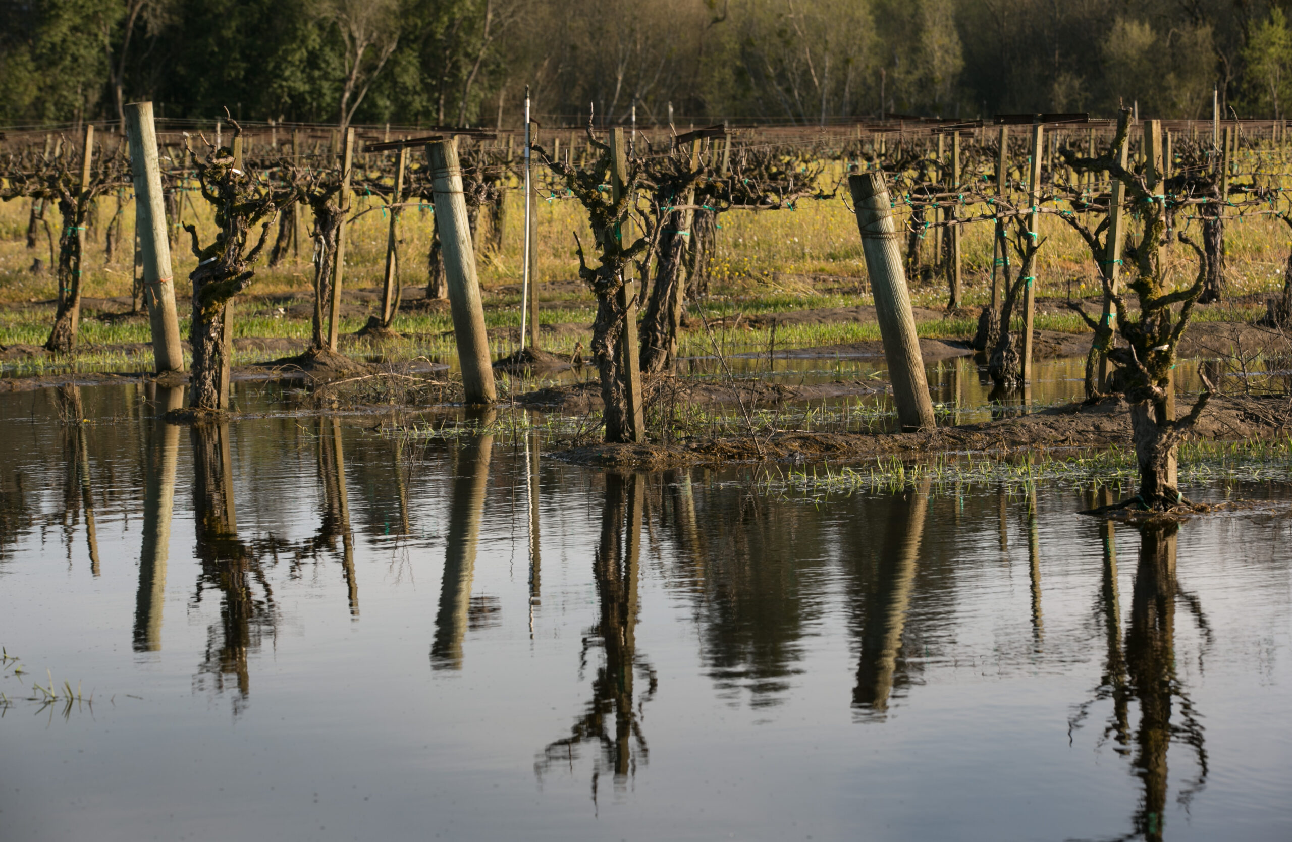 Chardonnay grapevines in the Russian River Valley flood on March 12, 2018, near Sebastopol, California. Credit: George Rose/Getty Images