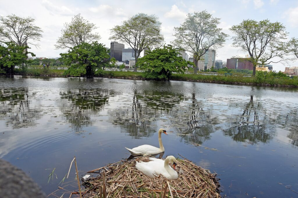 A pair of mute swans nest along the Charles River in the Back Bay of Boston, near a heavily traveled walking and cycling path. Once a national embarrassment for its pollution, the cleaned-up river today teems with wildlife. Credit: Derrick Z. Jackson