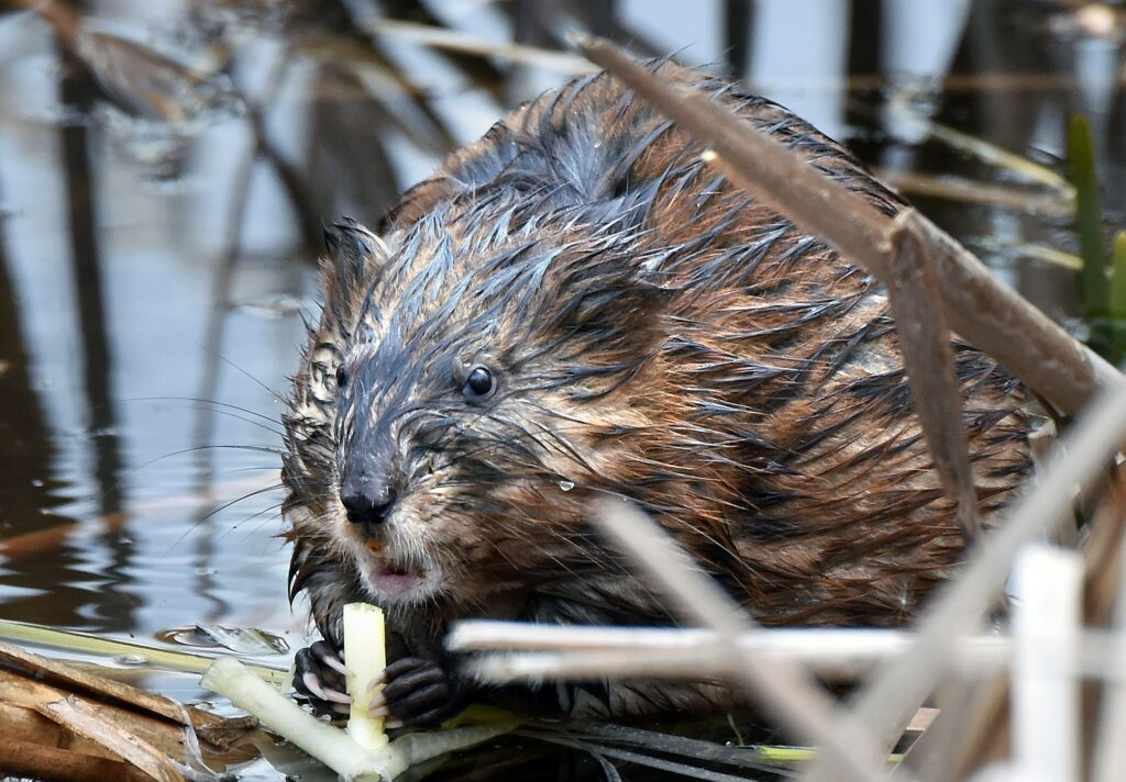 A muskrat swims in Great Meadows National Wildlife Refuge in Concord, Massachusetts. Scientists have found wetlands to be critically connected to the health of larger bodies of water, like the Charles. Credit: Derrick Z. Jackson