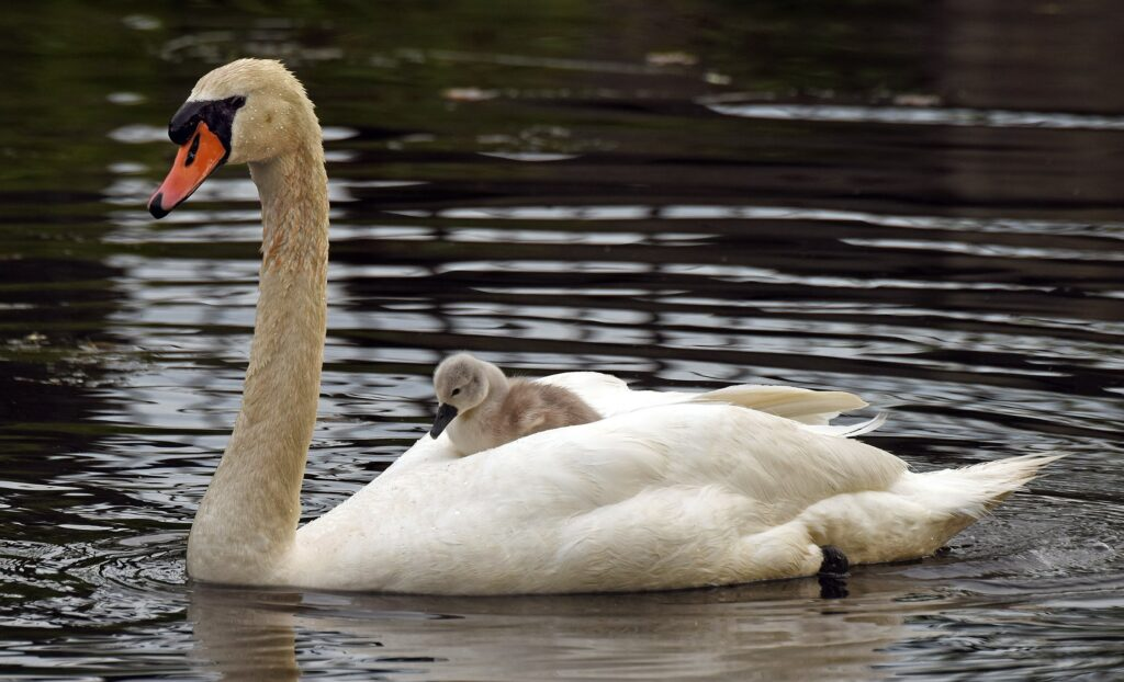 A mute swan rides on its father's back in the Charles River. Credit: Derrick Z. Jackson