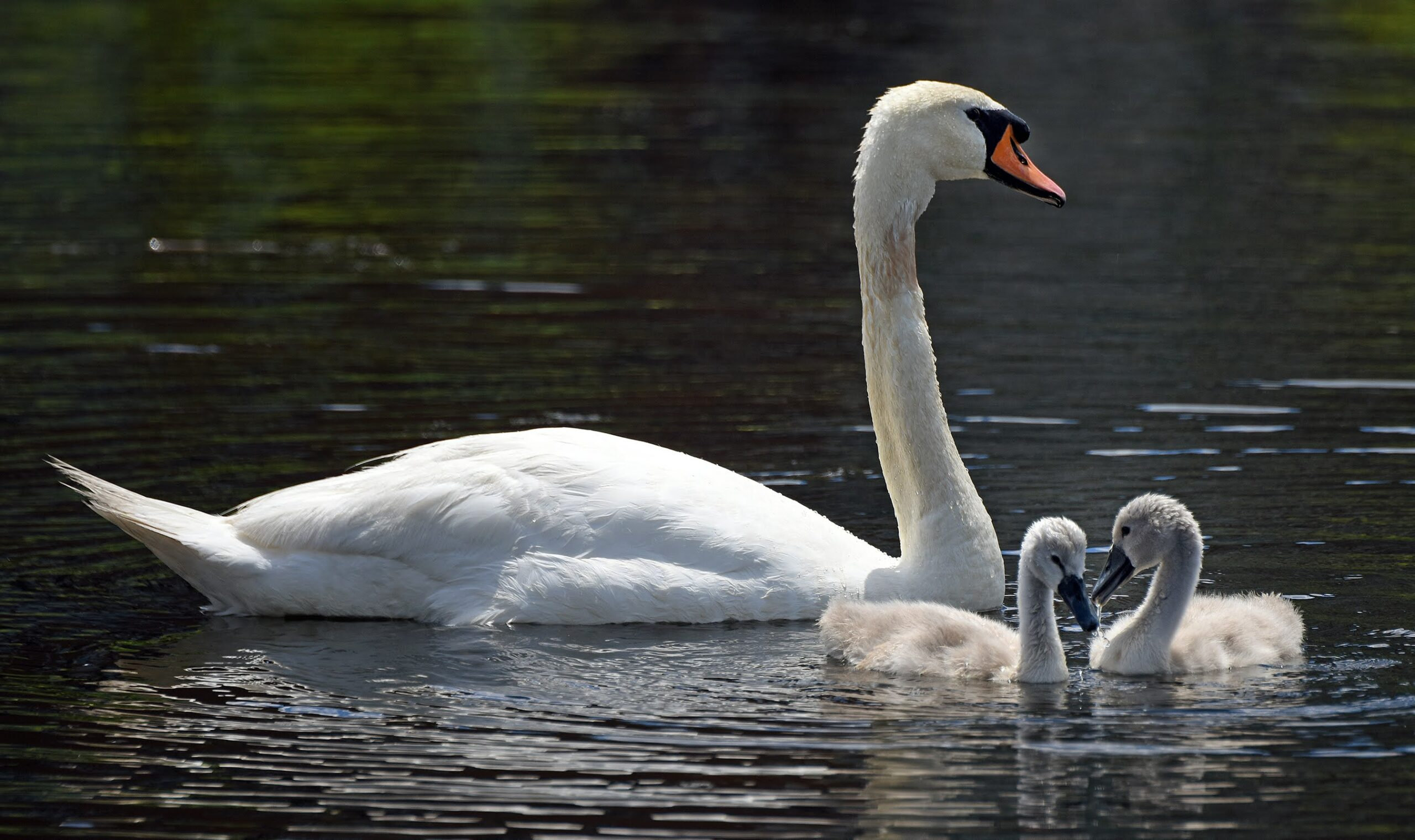 Two swan chicks remained on the Charles River with their father as of late June. Credit: Derrick Z. Jackson