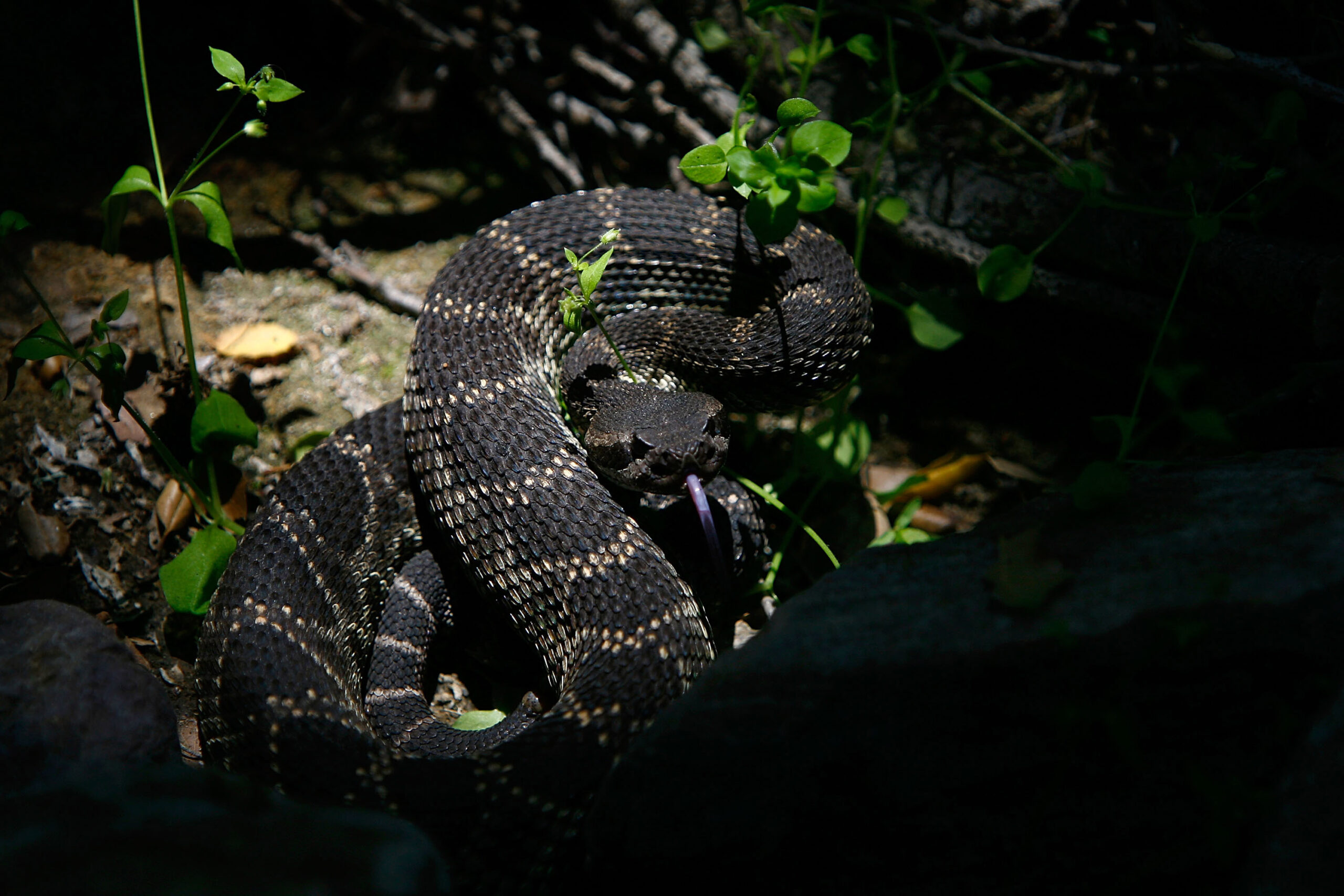 A venomous southern Pacific rattlesnake tastes the air in Santa Ynez Canyon in Topanga State Park on May 21, 2008 in Los Angeles, California. Credit: David McNew/Getty Images