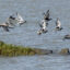 Water birds fly over the Sacrameno-San Joaquin River Delta, which boasts a diversity of flora and fauna that thrive in wetlands about the size of Orange County. Credit: Luis Sinco/Los Angeles Times via Getty Images