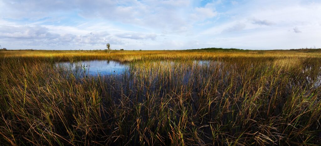 Sawgrass in Everglades National Park. Credit: B.Call, National Park Service