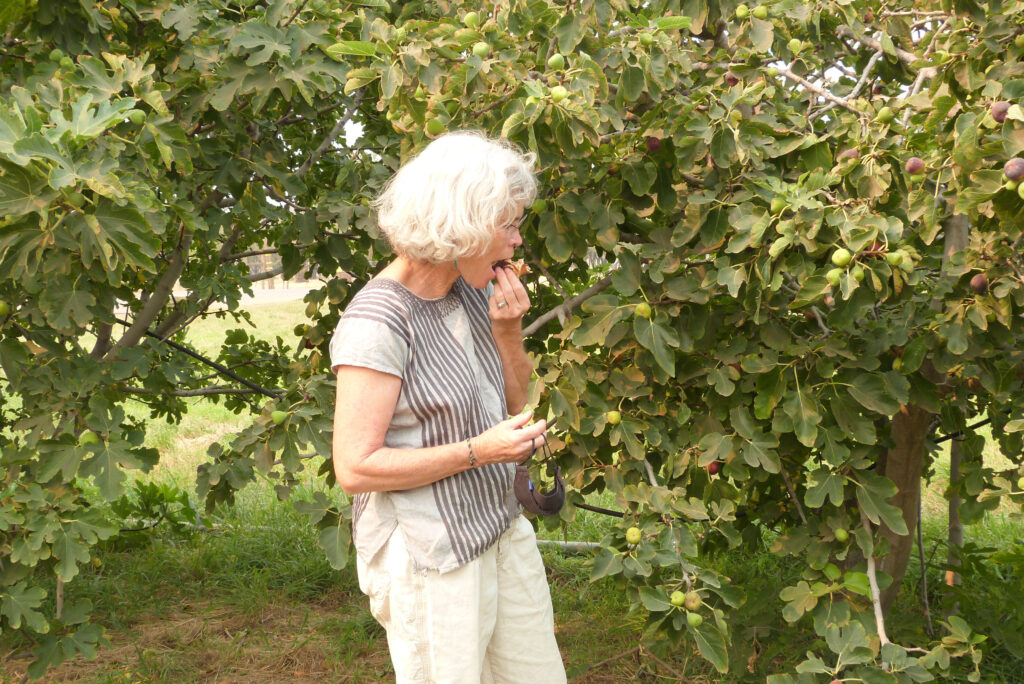 Judith Redmond, one of six owners of Full Belly Farm, samples a turkey fig. Credit: Liza Gross