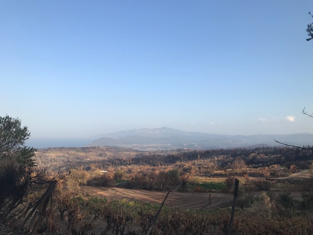Burned olive trees in Northern Evia on Aug. 27, 2021. Credit: Moira Lavelle