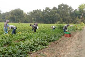 Farmworkers harvest cucumbers at Full Belly Farm in Guinda, California. Credit: Liza Gross