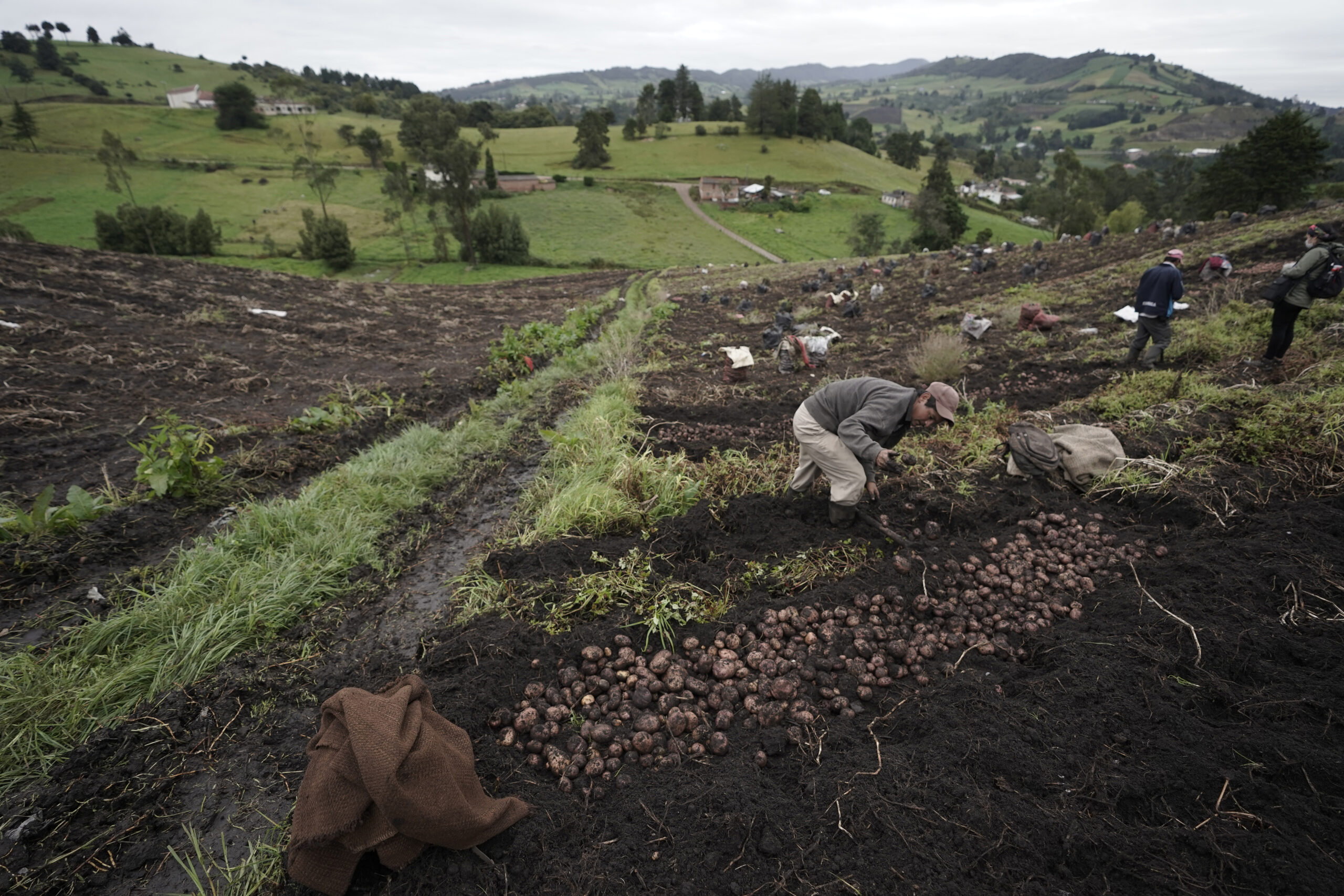 Farmers work in their crops of potato on November 13, 2020 in Ventaquemada, Colombia. Credit: Diego Cuevas/Vizzor Image/Getty Images
