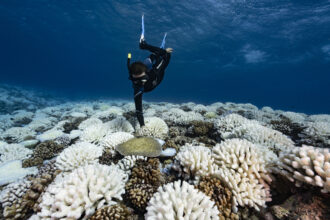 A diver looks at reef of a major bleaching on the coral reefs of the Society Islands on May 9, 2019 in Moorea, French Polynesia. Credit: Alexis Rosenfeld/Getty Images