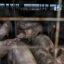 Pigs stand in a pen at a farm in Ayden, North Carolina on Wednesday, Sept. 12, 2018. Credit: Callaghan O'Hare/Bloomberg via Getty Images