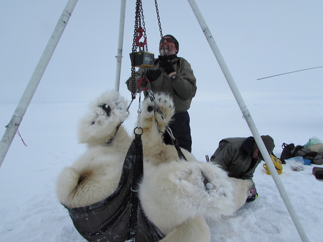 USGS biologist Todd Atwood weighs a polar bear on the southern Beaufort Sea. Climate change has caused the ice to become too thin in recent years to safely allow for this kind of polar bear examinations. Photo Courtesy of Todd Atwood