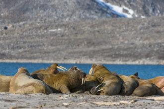 Walruses resting on a beach in northwest Svalbard. Credit: Wolfgang Kaehler/LightRocket via Getty Images